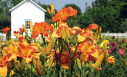 Daylilies festival puts on a dazzling display