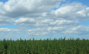 Industrial hemp will grow; will it sell?