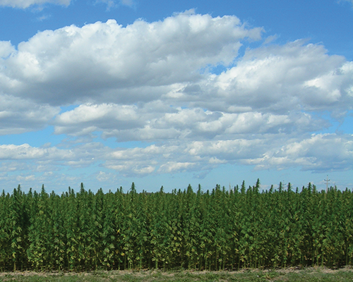 Industrial hemp, shown growing here in this photo provided by Vote Hemp, can be used in the production of ropes, fabrics, plastics, cosmetics and other merchandise. Canada, Britain, Germany, Spain and France, along with more than 20 other countries, grow and process industrial hemp. (Vote Hemp photo)