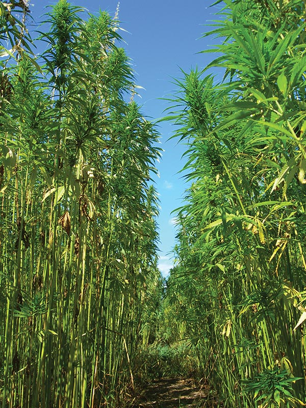 Since legalizing hemp production in 1998, Canada's crop is expected to surpass $1 billion  in value this year. Most of it is exported to the United States.