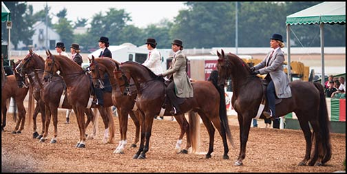 """The peacock of the horse world,"" the American Saddlebred is a high-stepping breed with exaggerated action through three or five ""ambling,"" four-beat, comfortable gaits. Originally called the Kentucky Saddler, the horse was used exclusively as an officer's mount during the Civil War due to its proven bravery and endurance."