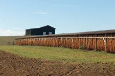 Tobacco dries in wall-less shed near Maysville. Most Kentucky tobacco today is sold for export.