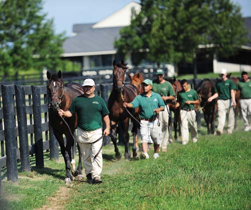 Grooms at Three Chimneys Farm hand walk Thoroughbred yearlings each morning to instill proper gait and posture habits and to familiarize them with being handled and taking training instruction.