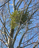 Mistletoe Extract Being Used For Colorectal Cancer Treatment In Europe