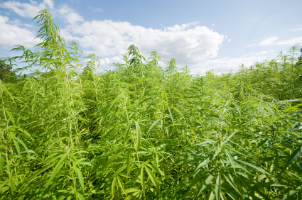 Industrial hemp can be used in the production of ropes, fabrics, plastics, cosmetics and other merchandise. (Photo courtesy of Nutiva)