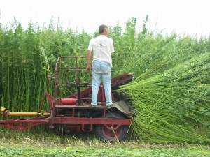 Industrial hemp can be used in the production of ropes, fabrics, plastics, cosmetics and other merchandise. (Photo courtesy of consciouslifenews.com)