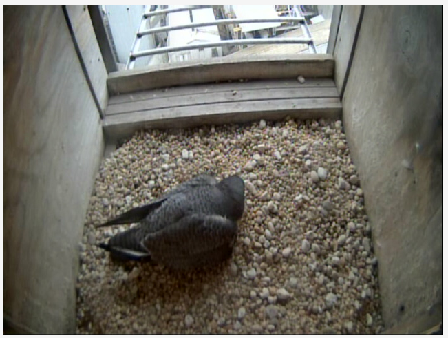 A screen capture from the peregrine falcon web cam at www.lge-ku.com/falcon.