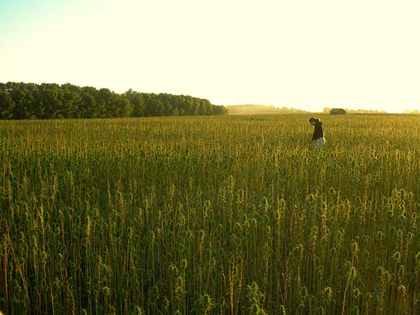 A worker is shown in a hemp field in this photo provided by Vote Hemp.