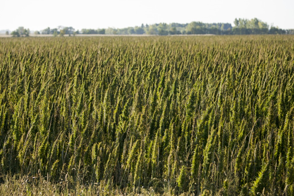 Hemp is grown for its seeds, oil and fiber. (Photo courtesy of Vote Hemp)