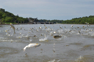 Because of their propensity for jumping, silver carp can be dangerous to recreational boaters.