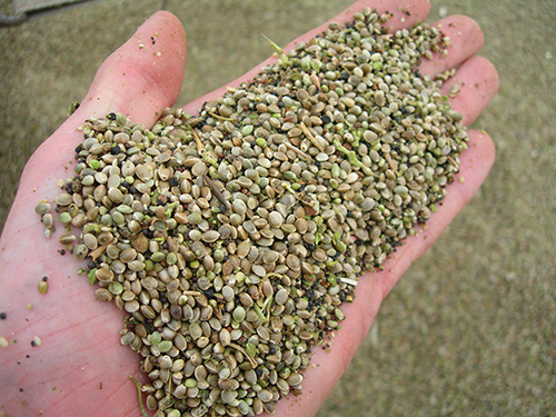 Pressed hemp seed makes a rich oil that can be used in foods, body care items and technical products such as oils, paints, solvents, lubricants and ink. Seed cake, which is made after the hemp is pressed, can be used in animal feeds and to make protein-rich flour. (Vote Hemp photo)