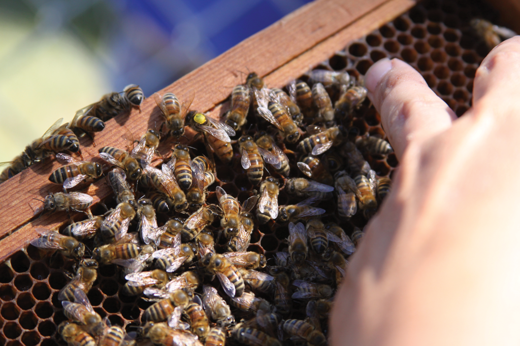 A queen bee, marked with a yellow dot, is shown in one of Dr. Tammy Horn's hives. Researchers, along with economic development leaders, are working to make Kentucky a viable location for honey production. (Photo by Cordis Cuzz Bishop)