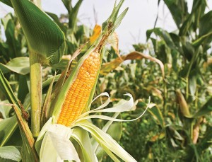 Corn is the state's No. 2 commodity. In 2012, farmers grew 104 million bushels, which earned $829 million.