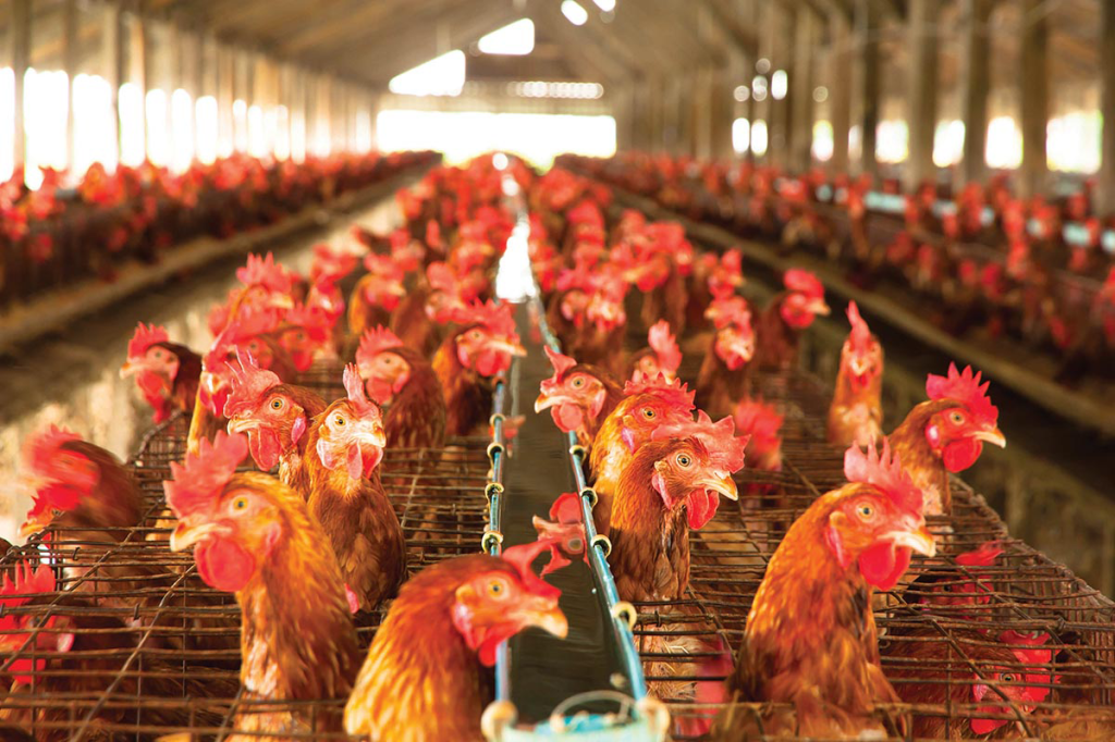 Poultry is Kentucky's No. 1 crop, and No. 7 in the United States. Kentucky broilers generated $867 million in cash receipts in 2012.