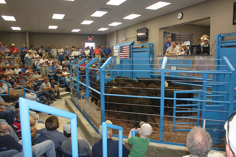 Weaned calves are sold at the Bluegrass Stockyards facility in Albany, Ky., for backgrounder-stocker operations, a step in cattle production system that is popular among the state's nearly 34,000 farms with cows.