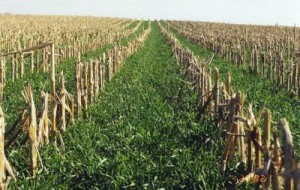 Young cereal rye emerges in the fall between rows of corn stubble. Cereal rye is one of the most common cover crops (UK photo by John Grove)