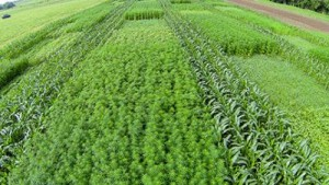 Hemp in fiber trials at the University of Kentucky College of Agriculture, Food and Environment.