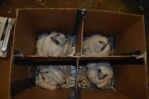 Two male and two female peregrine falcon chicks, being prepped for banding, are being reared in a nest box at LG&E's Mill Creek Generating Station. Diana, their mother, has been nesting there since 2006.