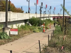 The Conn Center's hemp/kenaf crops were planted near Eastern Parkway, making an unusual sight for those walking along the path to and from the J.B. Speed School of Engineering.