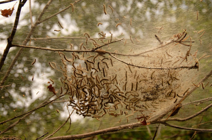 Building of eastern tent caterpillar nest in summer time.